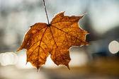 Maple leaf close up — Stock Photo