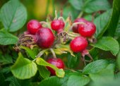 Ripe rosehip berries — Stock Photo
