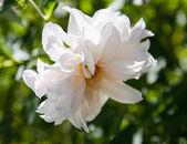 Beautiful  white dahlia — Stock Photo