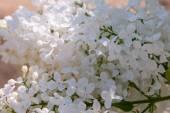 White lilac (Syringa)  — Stock Photo