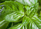 Fresh basil close up — Stock Photo