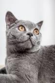 Portrait of a beautiful british cat — Stock Photo