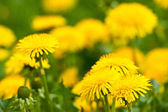 Beautiful yellow dandelions — Stock Photo