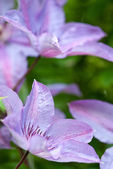 Flowers of purple clematis — Stock Photo