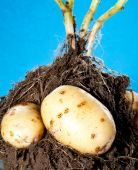 Young potatoes tubers in soil — Stock Photo