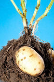 Young potato tubers in soil — Stock Photo
