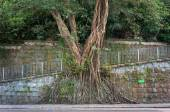 Large banyan tree growing against a wall in the mid-levels area of Hong Kong Island — Stock Photo