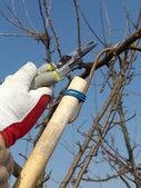 Fruit tree pruning — Stock Photo