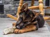 German shepherd puppy playing — Stock Photo