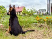 German Shepherd puppy charging — Stock Photo