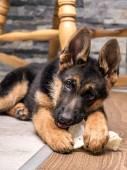 German shepherd puppy playing — Stock Photo