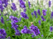 Bed of lavender — Stock Photo