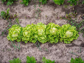 Lettuce — Stock Photo