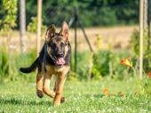 German Shepherd puppy running — Stock Photo