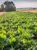 Mangel wurzel field — Stock Photo