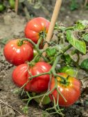 Ripening tomatoes — Stock Photo