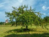 Crabapple tree — Stock Photo