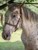 Spotted horse — Stock Photo