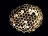 Wasp nidus — Stock Photo