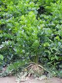 Celery field — Stock Photo