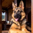 German shepherd in its kennel — Stock Photo #68450125