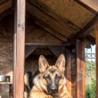 German shepherd in its kennel — Stock Photo #68522363