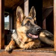 German shepherd in its kennel — Stock Photo #68522785