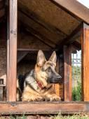 German shepherd in its kennel — Stock Photo