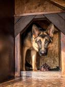 German shepherd lurking from its kennel — Stock Photo