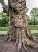Sycamore tree trunk — Stock Photo