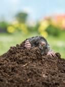 Mole in molehill — Stock Photo
