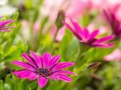Osteospermum flowers — Stock Photo