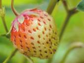 Ripening strawberry — Stock Photo