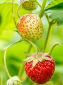 Ripening strawberries — Stock Photo