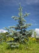 Hoopsii Blue Spruce — Stock Photo