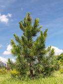 Swiss pine — Stock Photo