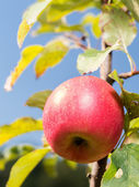 Cox orange pippin apple — Stock Photo