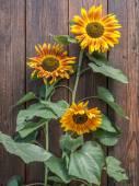 Three sunflowers — Stock Photo