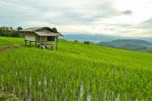 Rice fields — Stock Photo