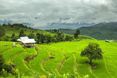 Rice fields ,landscape terraced agriculture of Ban Pa Pong Pieng — Stock Photo