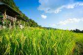 Rice fields ,landscape terraced agriculture — Stock Photo