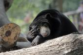 Black color bear  — Stockfoto