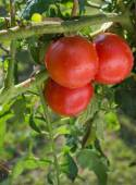 Cultivo de tomates — Foto de Stock