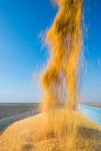 Corn harvesting — Stock Photo