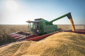 Corn harvest  — Stock Photo
