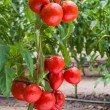 Growth tomato — Stock Photo #65310413