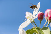 Bee in blossoming  — Stock Photo