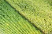 Soybeans and field corn — Stock Photo