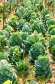 Organic Green  ornamental cabbage. — Stock Photo
