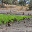 Group of Baboons with Antelopes — Stock Photo #61125923